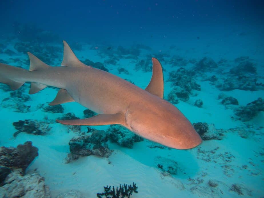 Nurse shark up close